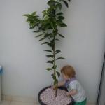Mit nye appelsintræ, som forhåbentlig vil sprede en yppig duft på altanen