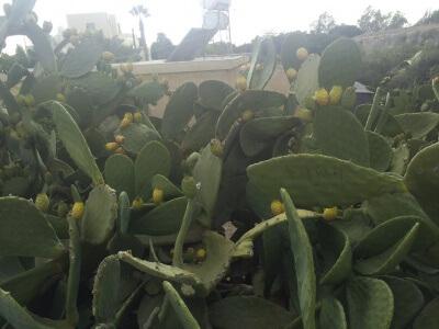 Cypern byder på frisk frugt året rundt, men det er ikke kun frugttræer som vi kender dem, der byder på friske frugter. Smag fx kaktussens frugt - den prikkende pære.