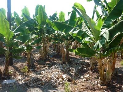Der dyrkes bananer i Pafos-regionen på Cypern - små og søde bananer.