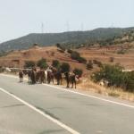 Vi møder næsten altid en gedeflok på vores tur op til Troodos i Cypern.